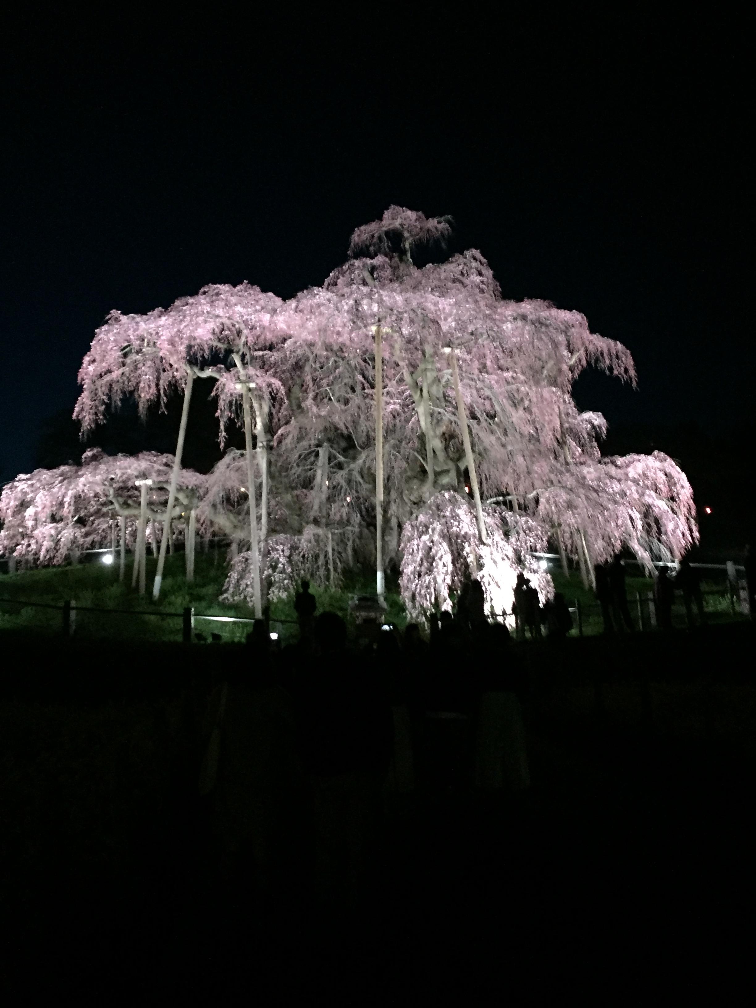 【2017】【ライトアップ花見】日本三大桜のひとつ、三春滝桜@福島